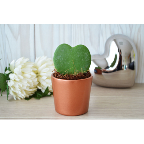 Hoya en pot Personnalisable.