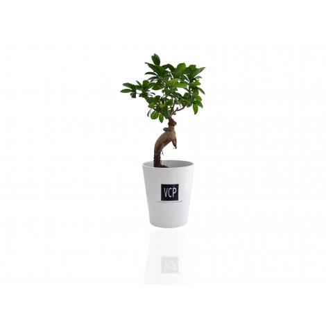 Le Ficus Ginseng - pot en céramique 11 cm à personnaliser