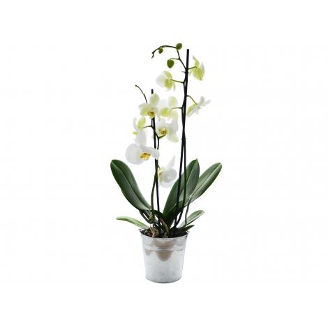 L'Orchidée - Petit ou grand modèle en pot publicitaire
