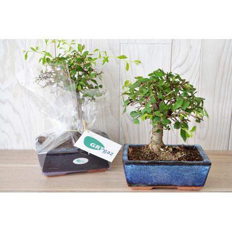 bonsai-forme-boule-a-personnaliser