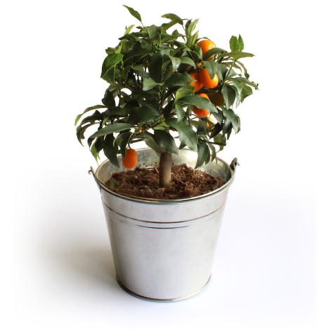 L'Oranger en pot publicitaire