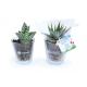 Mini plante dépolluante publicitaire en vase